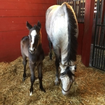 Newstouse 2017 by Goldencents - born 2/6 colt Bred and Photo by Val McNeely