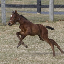 Ghostzapper filly out of Villette. Foaled: 02/118/17 at Lojeski Farms in Emmaus, PA. Breeder: Jon Marshall. Photo by Kim Pratt