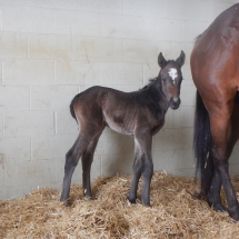 2018 filly by Jump Start out of Carlet, bred by Justa Farm, Oxford, PA, foaled March 6, 2018 at Northview PA, photo credit Tim Fazio, already nicknamed Spunky.